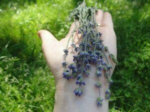Lavanda - planta aromaterapeutica