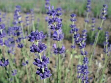 Lavanda pentru aromaterapie