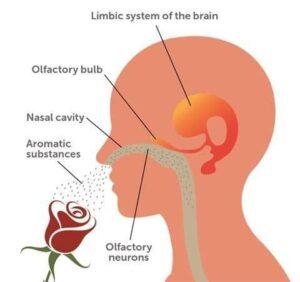 Mirosul şi sistemul limbic